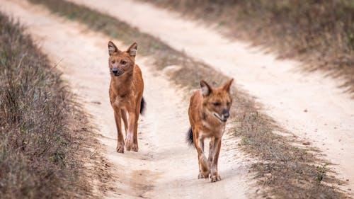 Immagine gratuita di cani, cani selvatici, canon, fauna selvatica