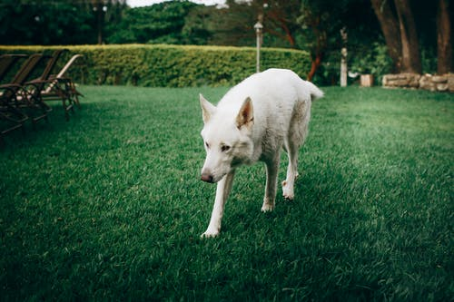 White dog walking outdoors on green grass