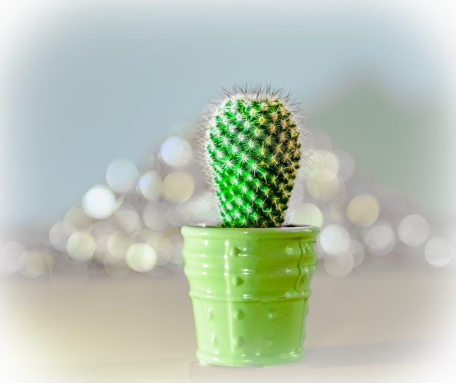 bokeh, grüner kaktus, grüner topf