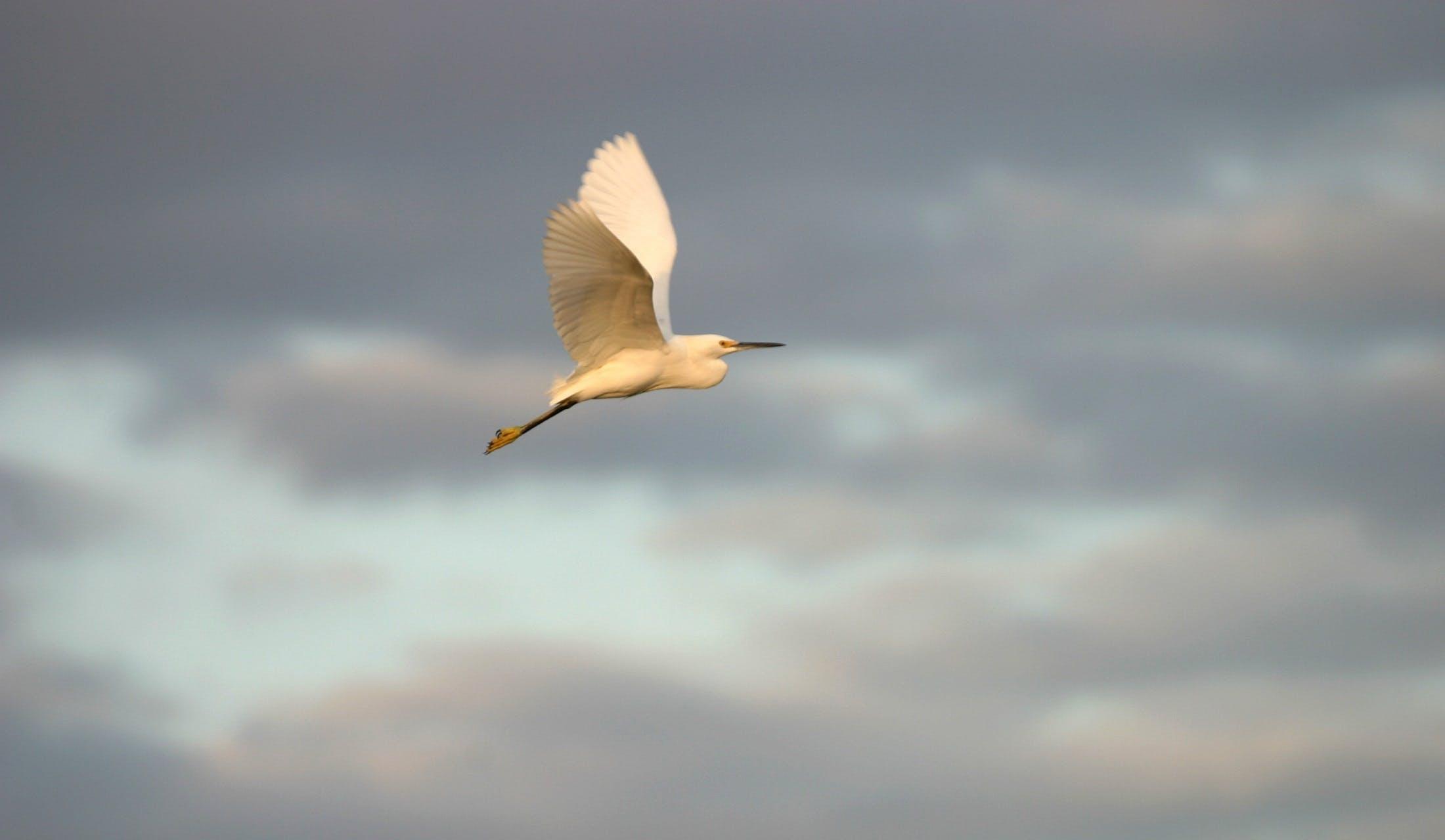Fotos de stock gratuitas de alas, animal, de perfil, garceta