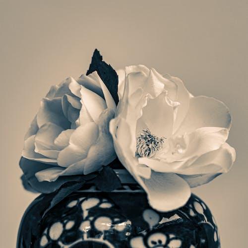 Free stock photo of monochromatic, white roses