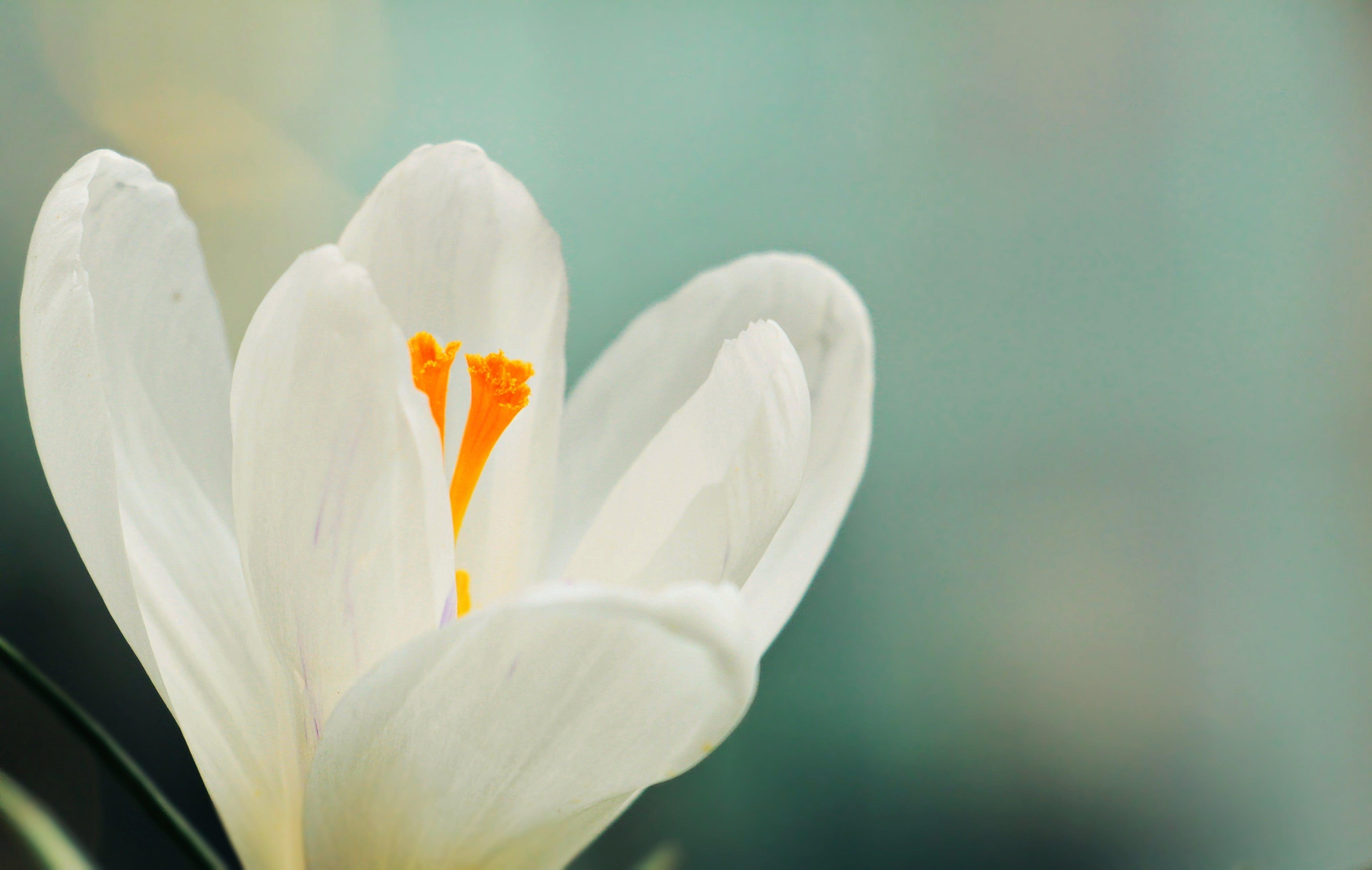 Half-bloomed White Flower