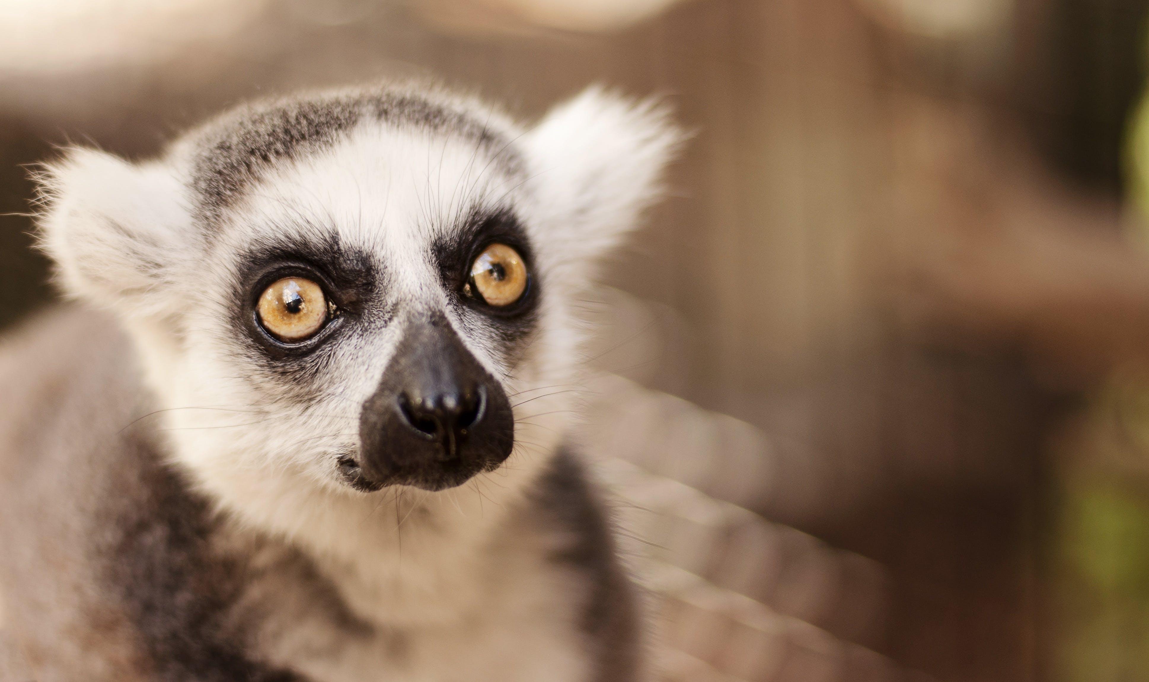 Selective Focus Photo of Lemur