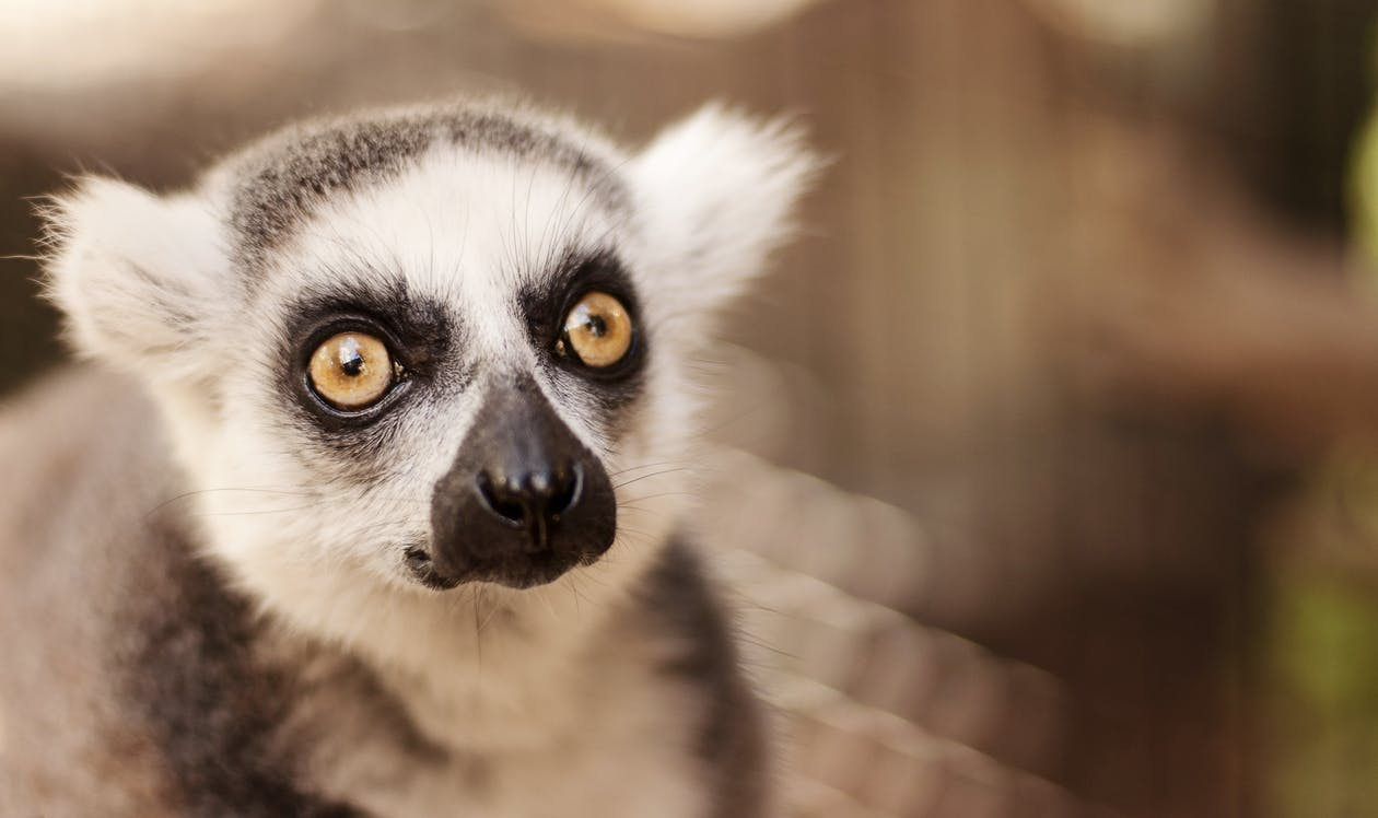 Selective Focus Photo of Lemur
