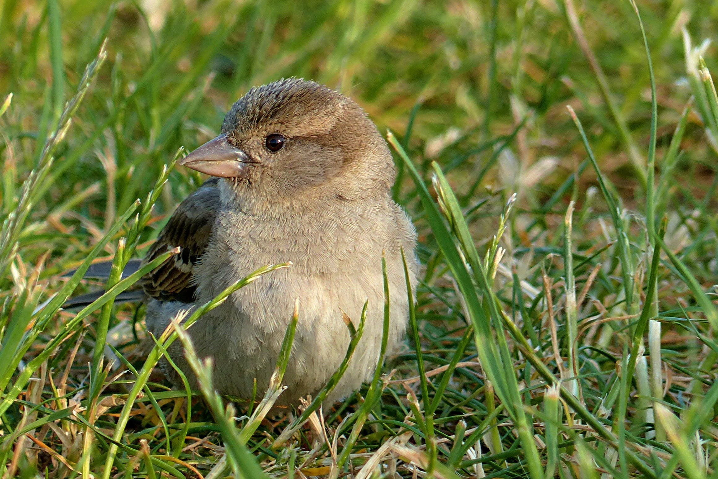 Free stock photo of bird, young, sparrow, foraging