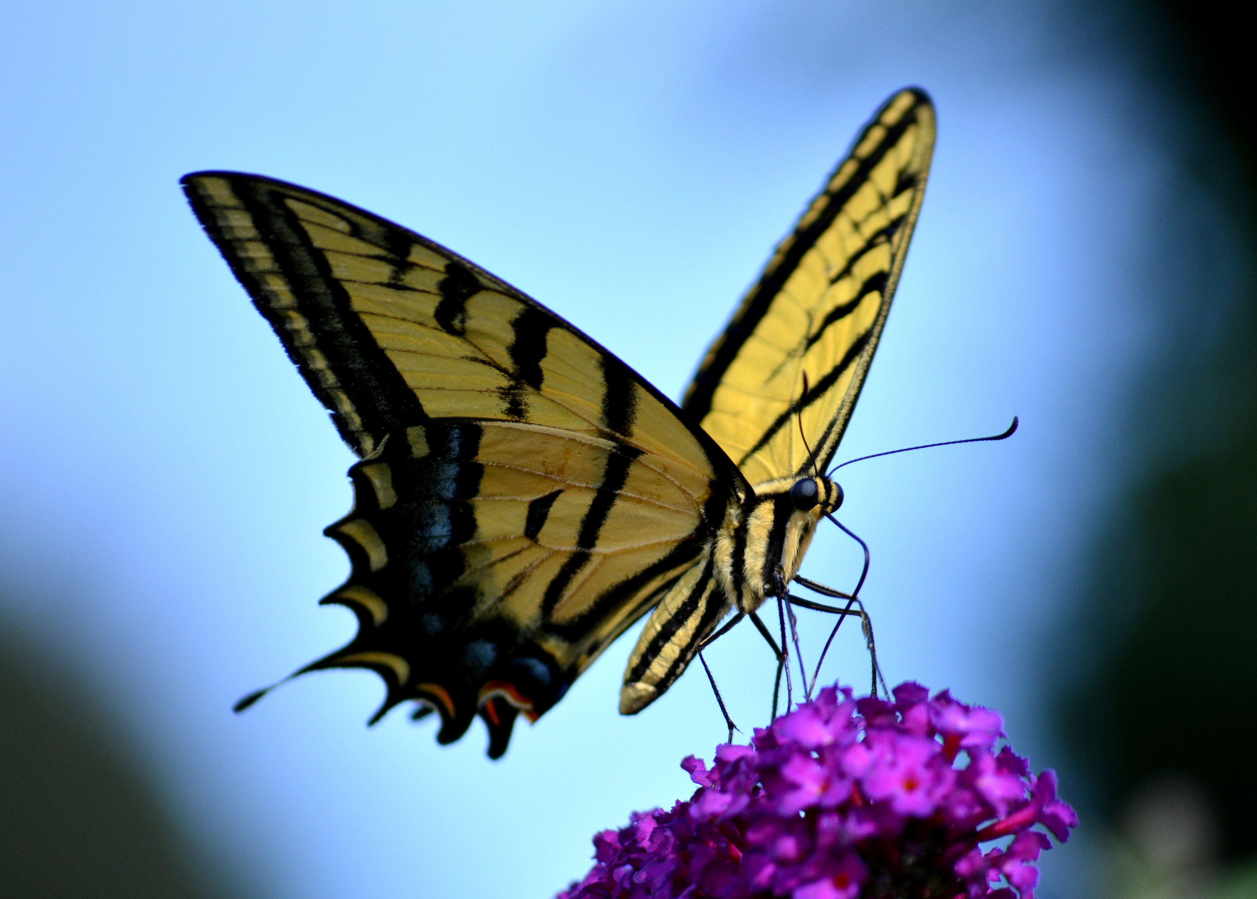 black and yellow butterfly free stock photo
