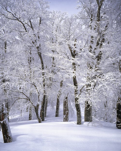 Immagine gratuita di alberi, biancaneve, bianco, boschi