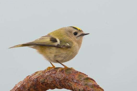 Free stock photo of nature, bird, small, songbird