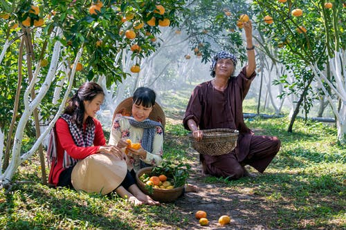 Asian family in traditional hats picking ripe oranges in green garden at harvest time