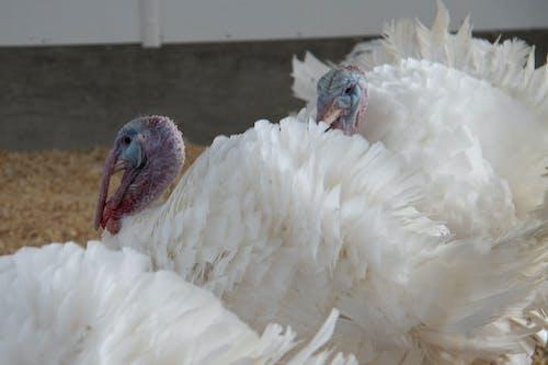 agbiopix, 土耳其, 家禽, 農業 的 免费素材照片