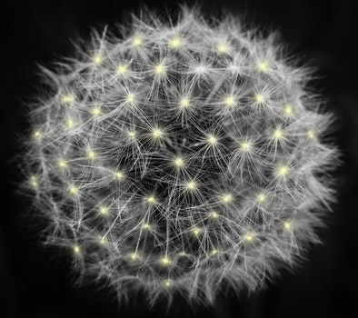Free stock photo of blur, flower, dandelion, focus