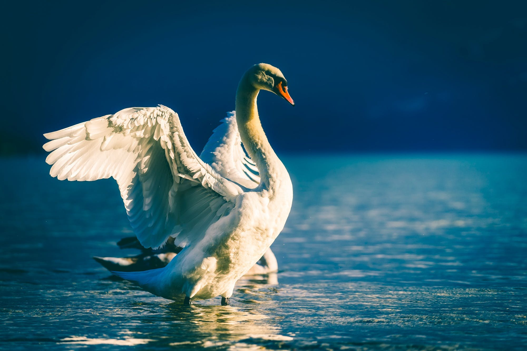 White Swan Spread Its Wing