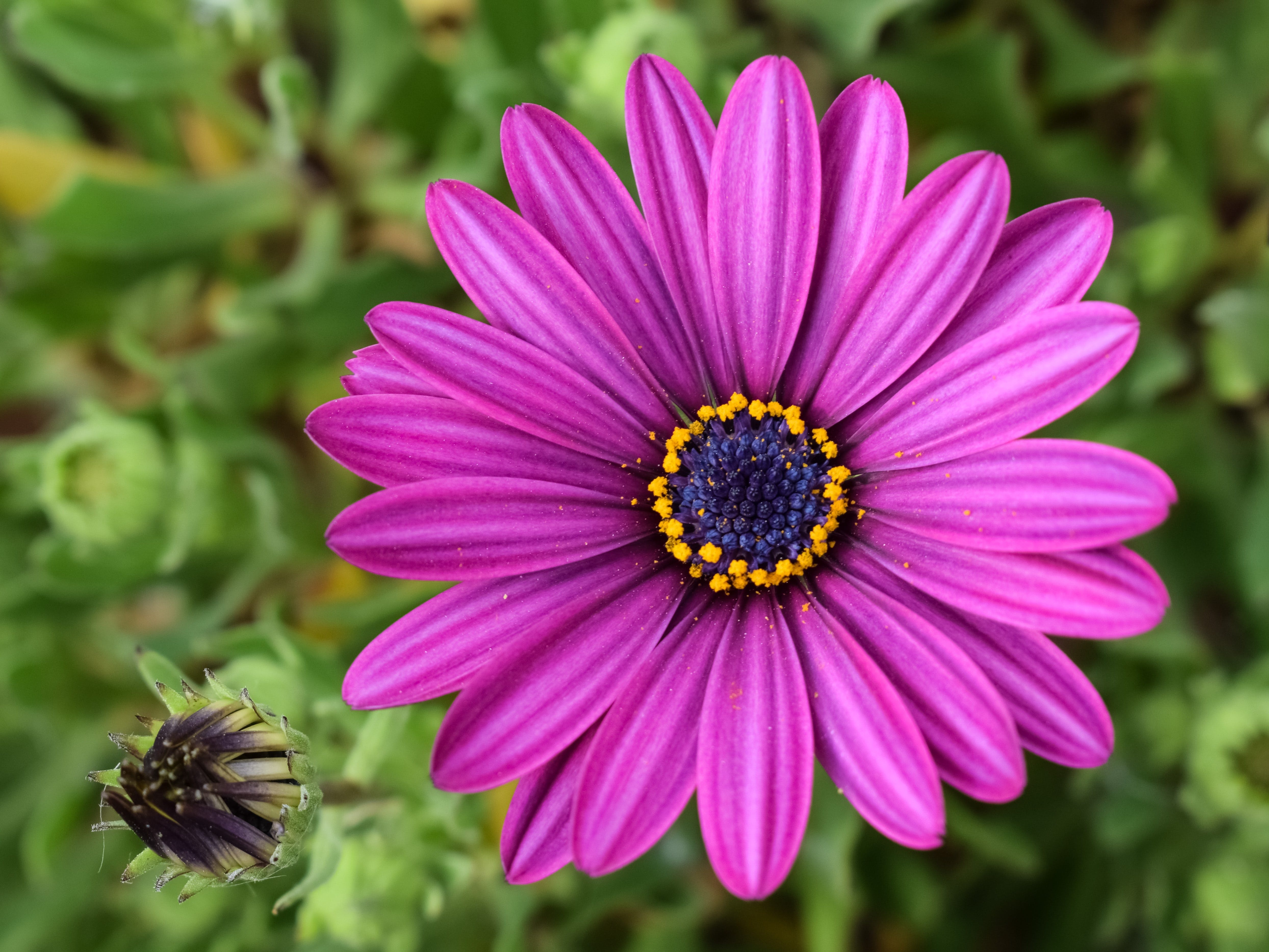 african daisy, beautiful, bloom