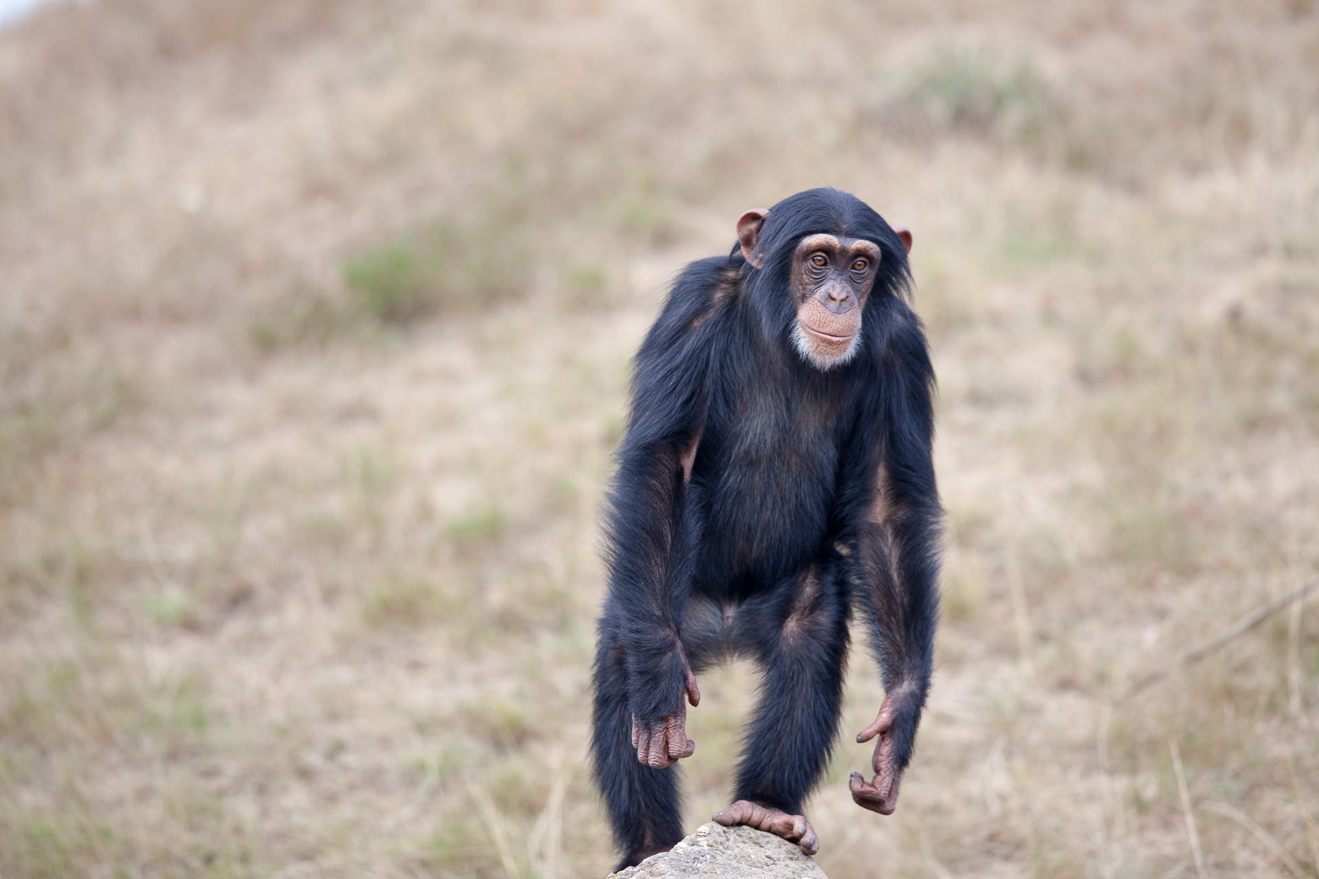 Standing Black and Brown Primate Surrounded by Green Grass Fields