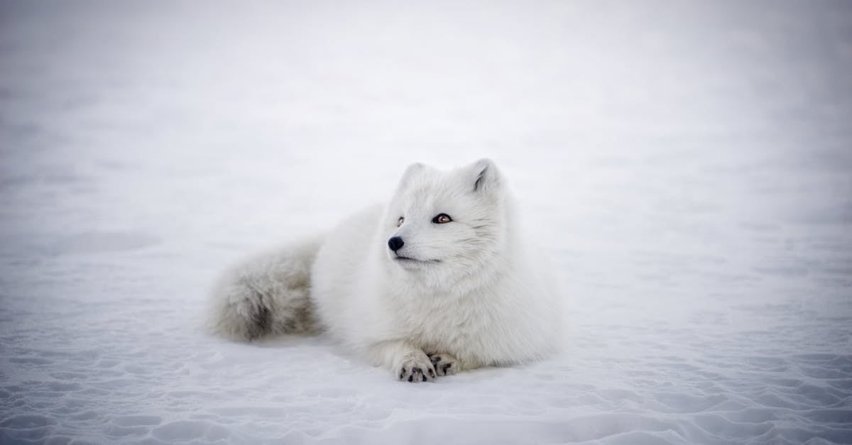 Free stock photo of animal, arctic fox, cute