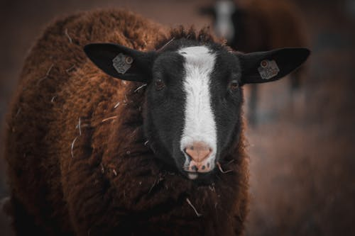 คลังภาพถ่ายฟรี ของ การเลี้ยงสัตว์, นา, สัตว์, หญ้า