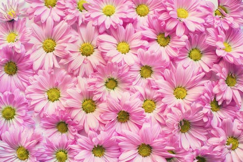 Wall of Pink Petaled Flowers