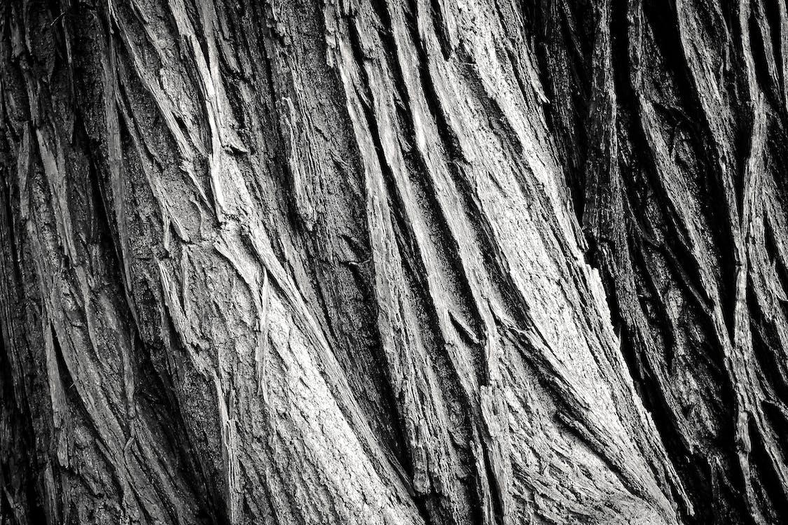 borovice, černá, černobílý