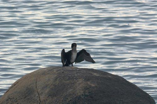 Fotos de stock gratuitas de ailes, animal, cormorán, eau