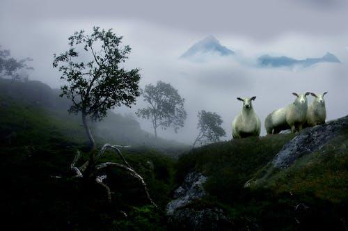 Ảnh lưu trữ miễn phí về bụi cây, buổi sáng sương mù, cây số, cừu