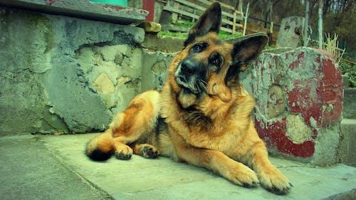 Δωρεάν στοκ φωτογραφιών με γερμανικός ποιμενικός, λυκόσκυλο, σκύλοι