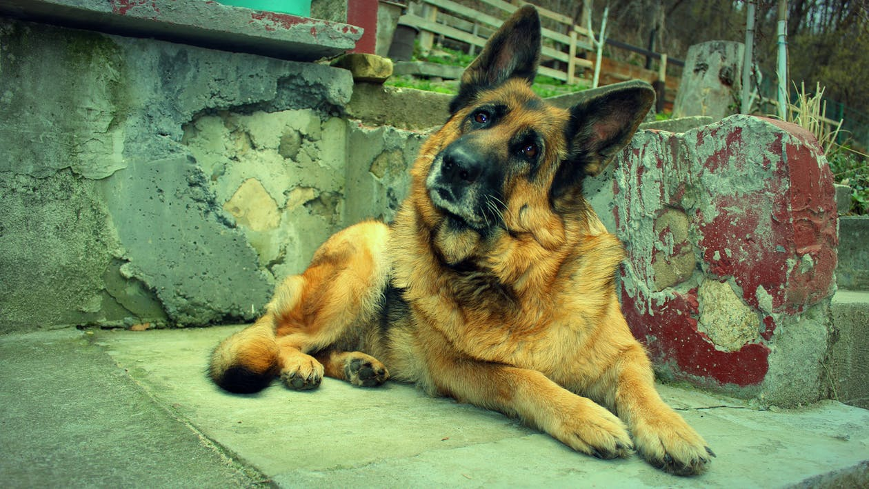 Free stock photo of dog, dogs, german shepherd