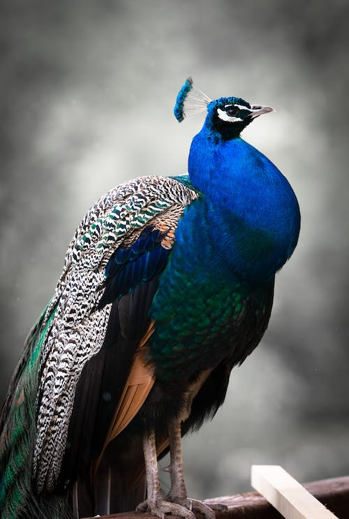 Blue, Black, and White Peacock Selective Focus Photography