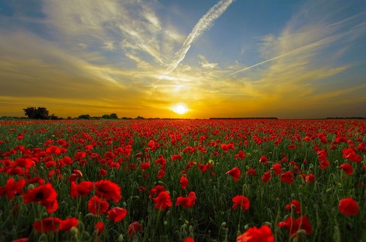 Red Cluster Petal Flower Field during Sunset