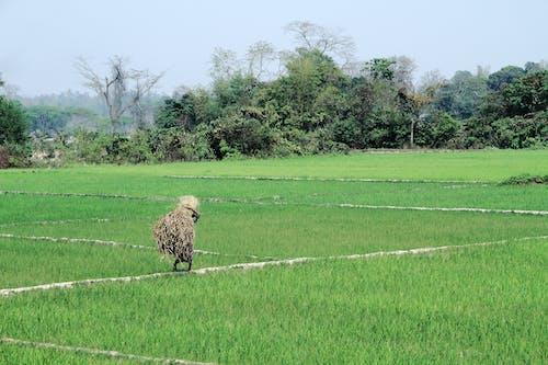 Free stock photo of bangladesh, green, man, paddy field