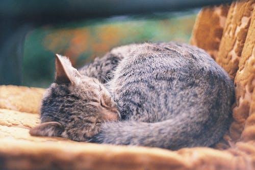 Free stock photo of cat, sleepy cat