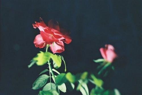 Free stock photo of night, Red Rose