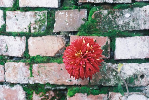 Free stock photo of brick wall, flower