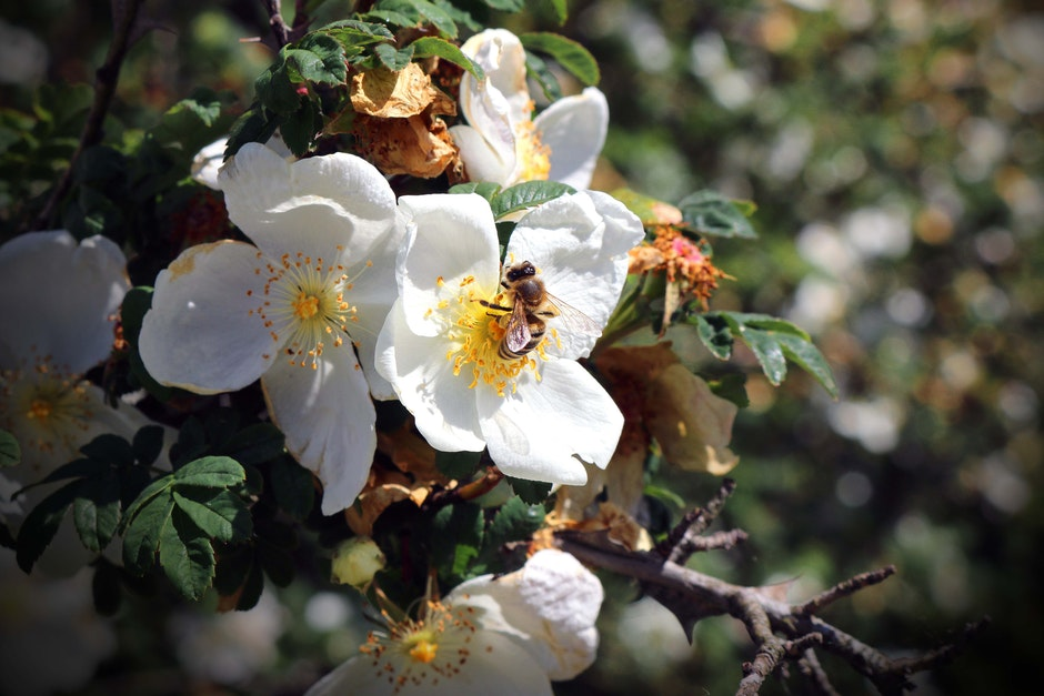 bee, blossoms, flowers
