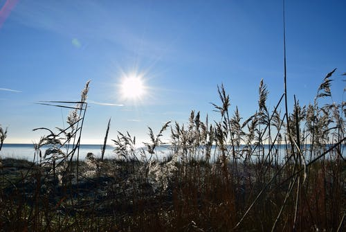 Free stock photo of blue sky, coast, reed