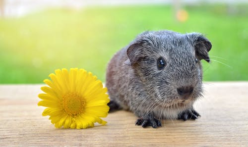 Foto profissional grátis de animal, animal de estimação, animal de pequeno porte, bonitinho