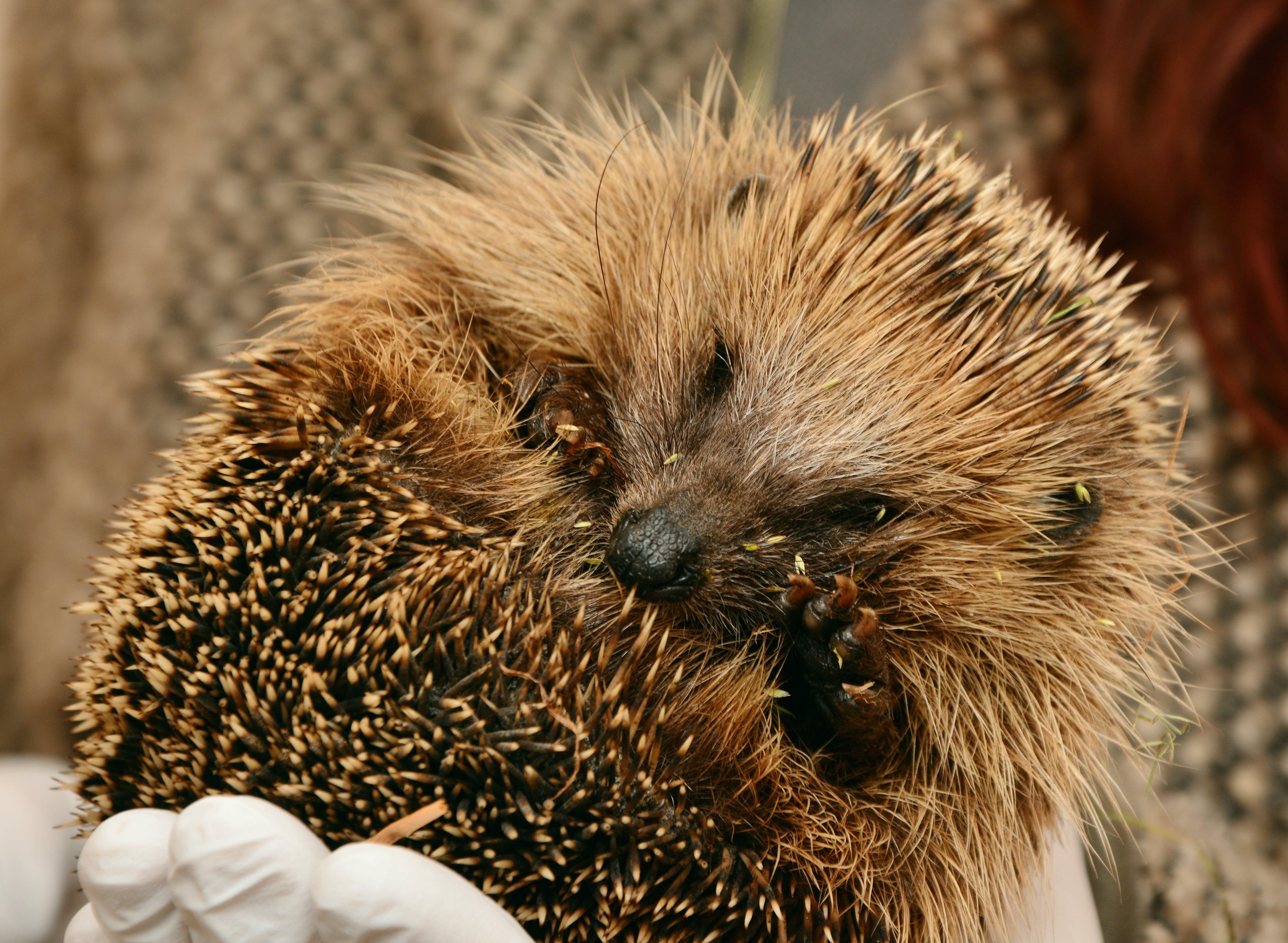 Free stock photo of cute, hedgehog, animal world, young animal