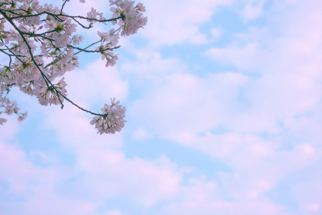 farba, jasný, kvet ovocného stromu