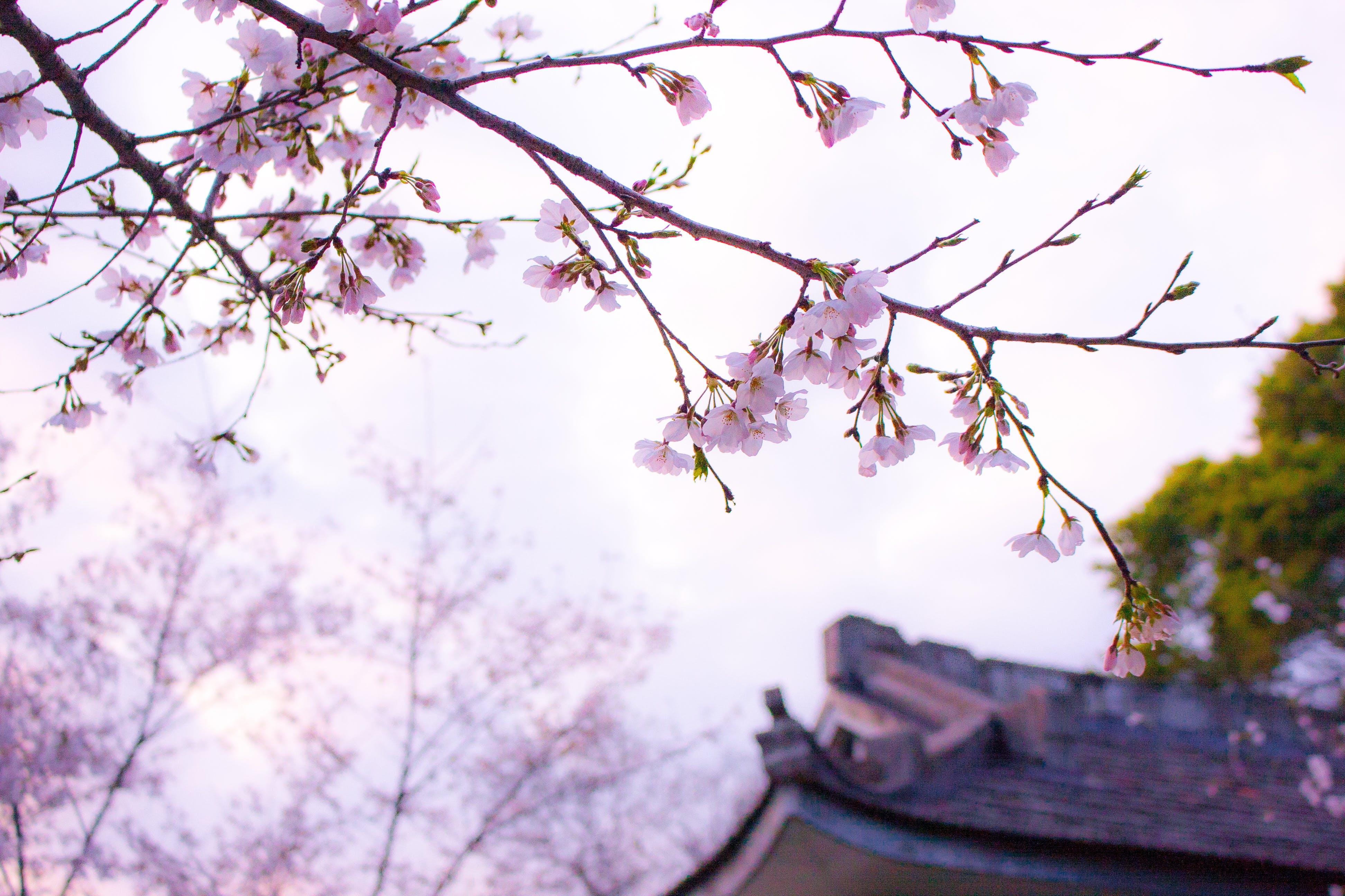 Kostenloses Stock Foto zu ast, aufnahme von unten, bäume, blumen