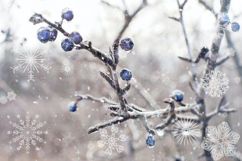 Gratis lagerfoto af bær, blå bær, frost, is