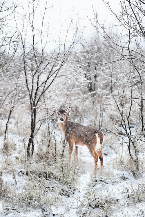 Brown Deer Surrounded With Snow-covered Trees