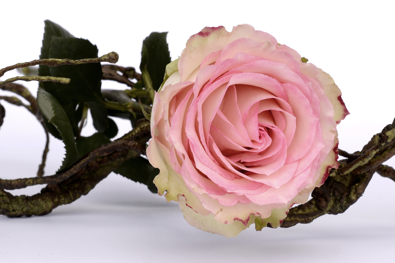 Free stock photo of nature, love, romantic, flowers
