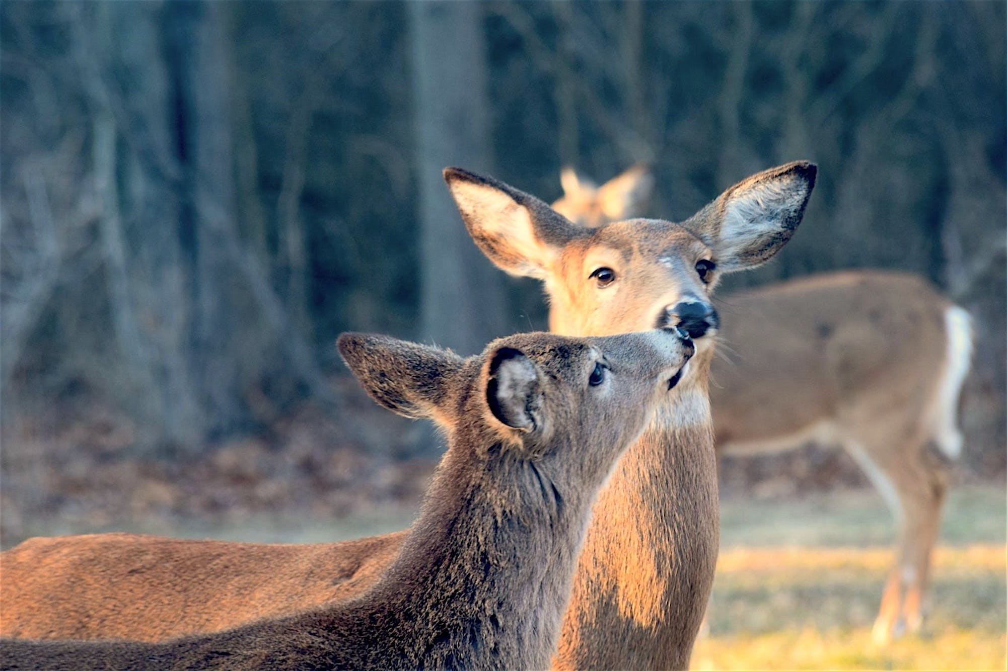 Deer Kissing Each Other
