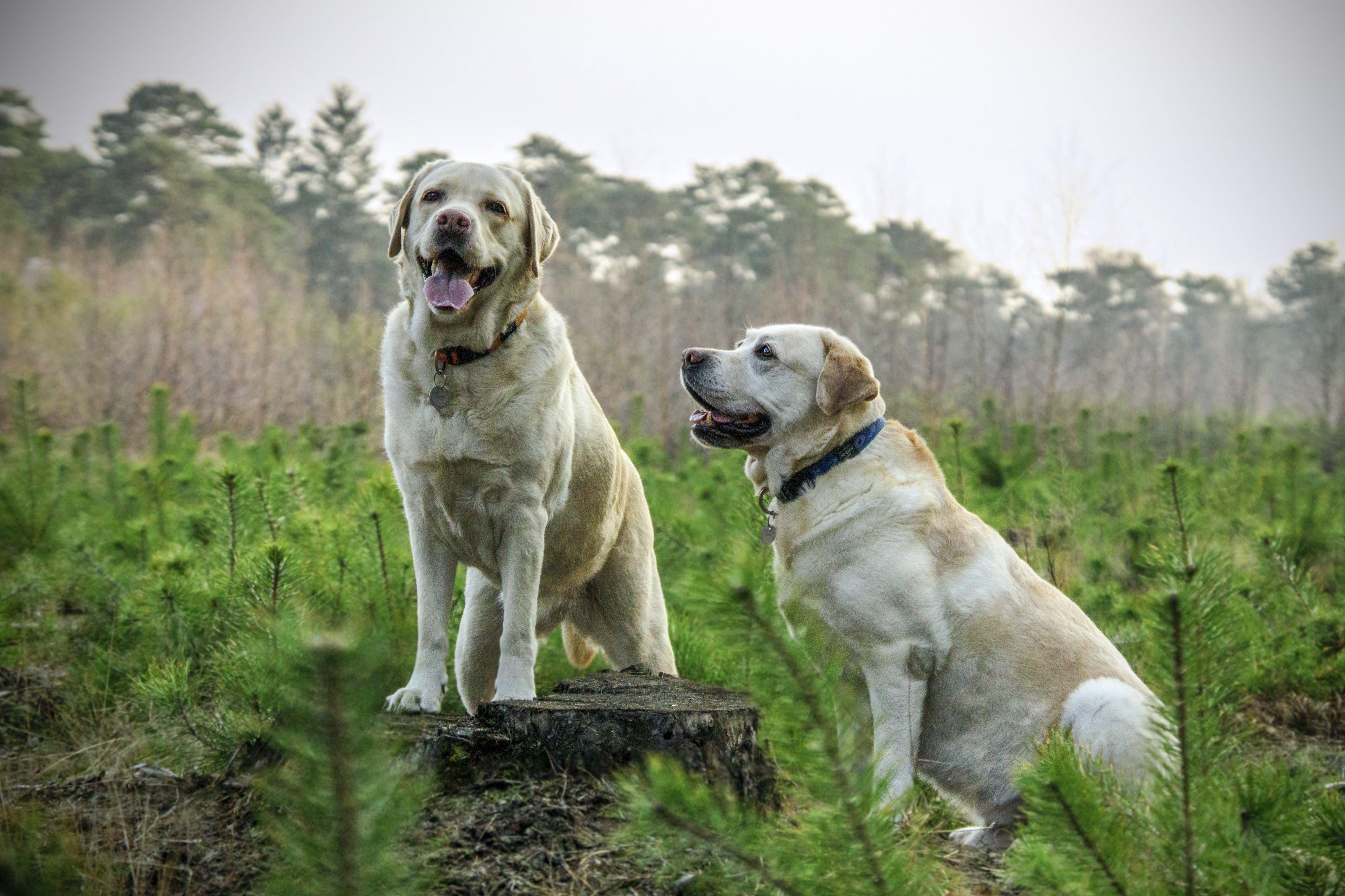 Two Adult Yellow Labrador Retrievers