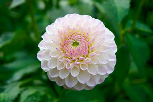 Selective Focus Photography Of Pink And White Dahlia Flower