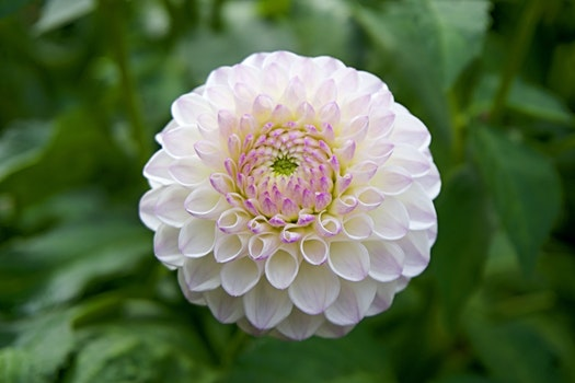Free stock photo of garden, flower, close-up, dahlia