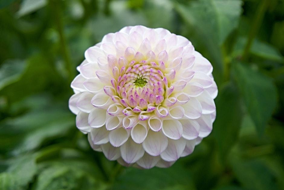 close-up, dahlia, flower