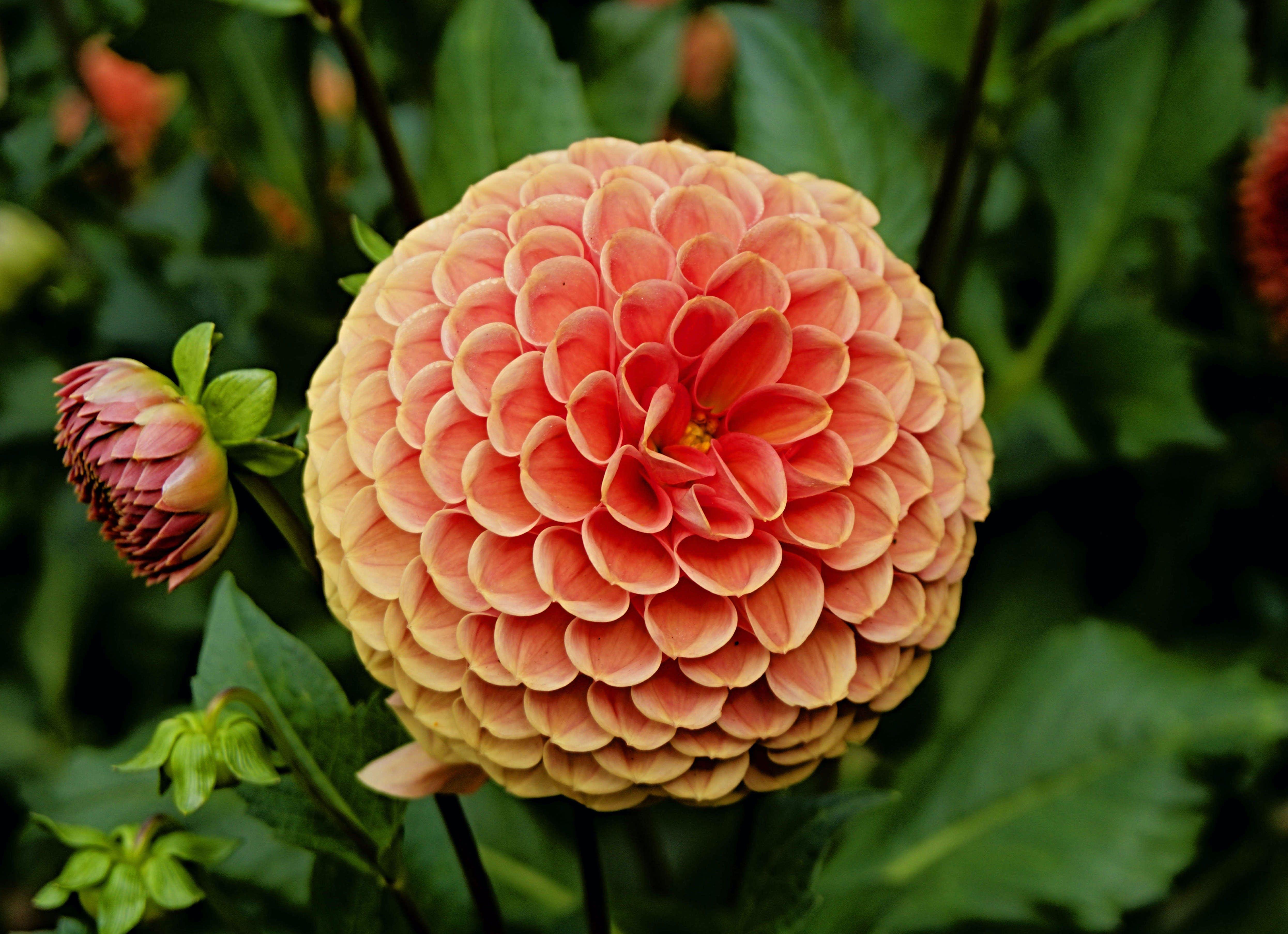 Základová fotografie zdarma na téma flóra, jiřiny, krásné květiny, krásný