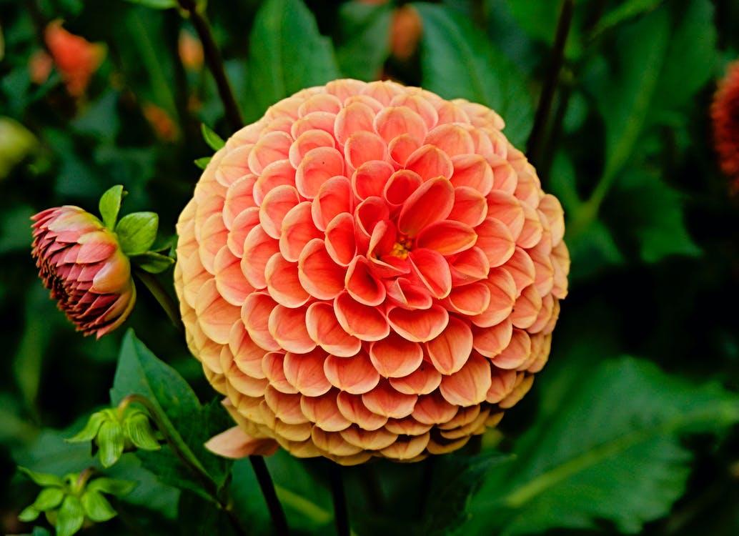 flóra, jiřiny, krásné květiny