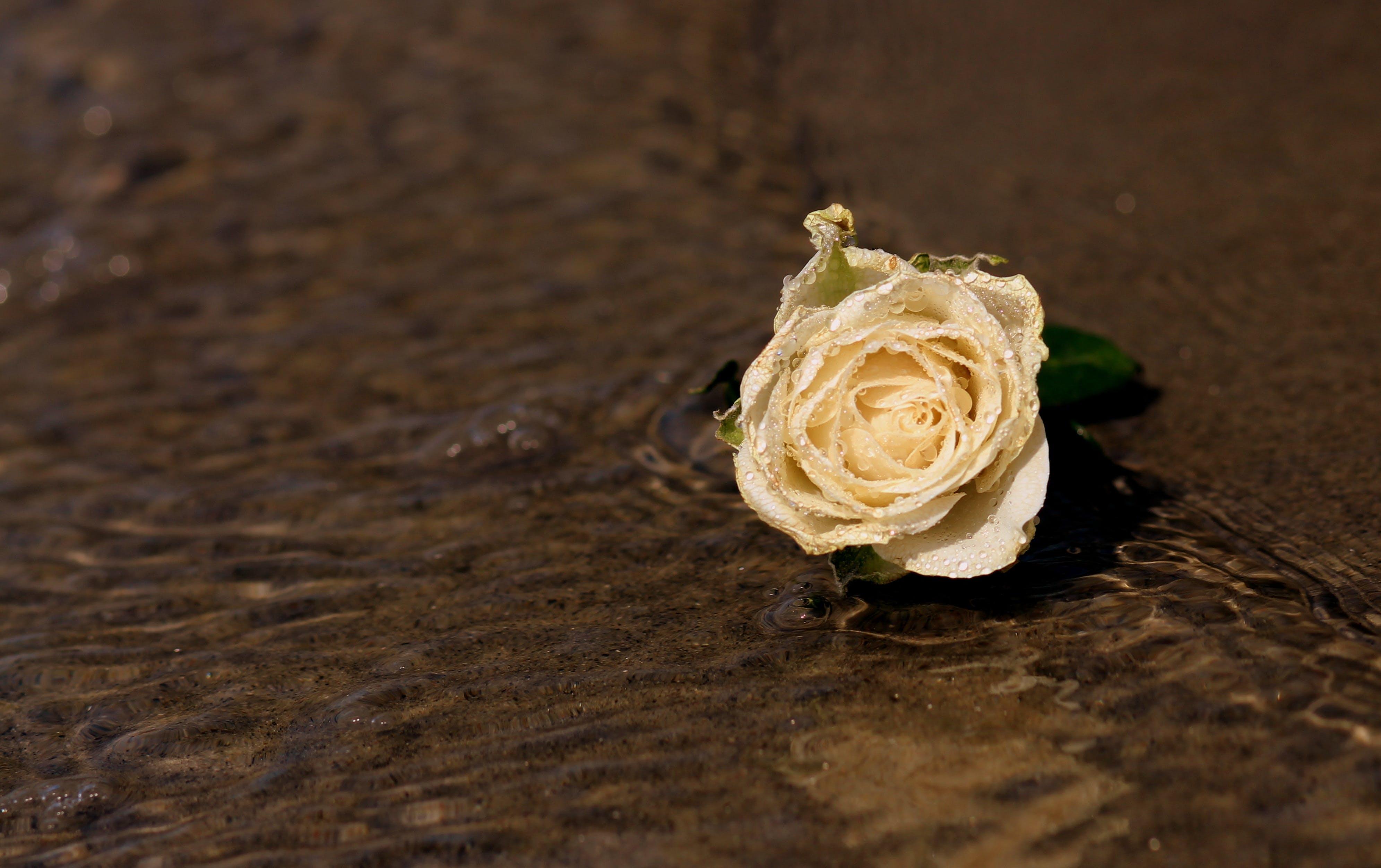 White Rose Flower on Shore