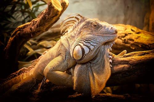 Darmowe zdjęcie z galerii z gad, iguana, natura, zbliżenie